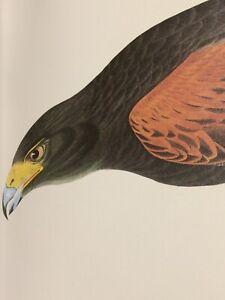 "Harris Hawk Audubon Print 11.5"" x 15"" Lithograph 104 Louisiana Hawk"