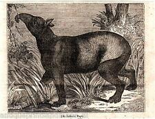 Antique print India Tapir 1835 holzstich stampa antica