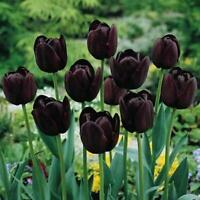 50Pcs Black-Purple Tulip Bulbs Root Flowers Balcony Perennial Plants Home Garden
