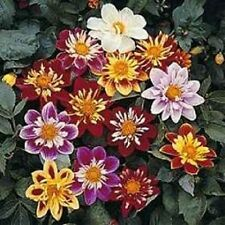 Dahlia Seeds Dandy Mix 50 Flower Seeds