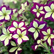 200 Seeds Petunia Seeds Bi Color Purple-Yellow Cream Flower Home Garden Bloom