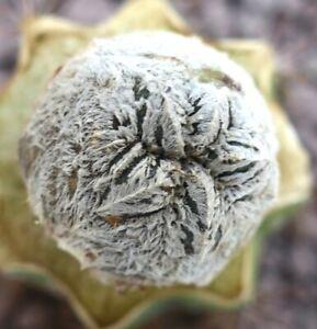 Astrophytum cv ONZUKA SNOW !!! rarely offered !! NO crested 15RR