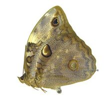 Unmounted Butterfly/Nymphalidae - Opsiphanes bogotanus ssp., FEMALE, Colombia