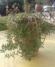 Plante grasse, 8 boutures de sedum (orpin), rocaille.