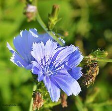 Wegwarte Cichorium intybus Heilpflanze Samen VERSANDKOSTENFREI !!!
