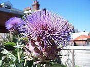 Vegetable - Artichoke - Violet Globe - 50 Seeds