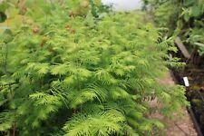 Metasequoia glyptostroboides Dawn Redwood Young Plant 9cm Pot