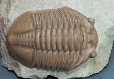 Russian trilobite  Asaphus lepidurus  Ordovician fossil