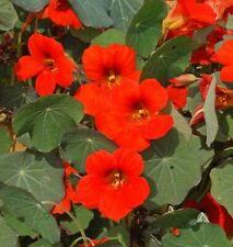 10 Pcs Nasturtium Empress of India Flower Seeds- TROPAEOLUM NANUM