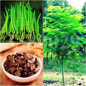 10 frische Moringa Samen - Moringa oleifera