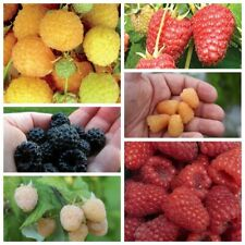 300Pcs Raspberry Fruit Seeds Rubus idaeus Rare 9 Kinds Tasty  Home Garden Plants