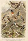 Vögel Nachtigall Sprosser Rotkelchen - Alter Farbdruck 1923 Bild Druck Print