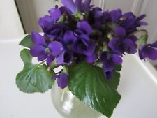 30+VIOLA ODORATA, Wild Sweet Garden  Violet Plants Perennial Organic Medicinal