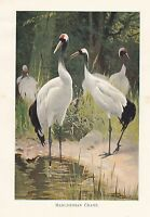 C1914 Naturel History Imprimé ~ Manchurian Crane ~ Lydekker