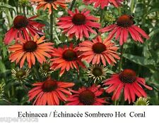 Echinacea Échinacée Sombrero HOT CORAL 15 Seeds Coneflower COMB S/H + FREE GIFT