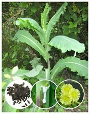 25+ Wild/Opium Lettuce Seeds (Lactuca virosa) Packed for 2018 *Free US Shipping*