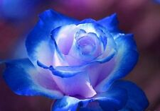 50  Rose Rosen Samen Blue Dream Seeds Gothic Gardenin  +---