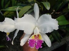 Cattleya lueddemaniana 'Stanley' Fcc/Rhs Bloom size 3 or 4 bulb Species