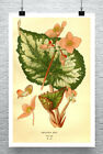 Begonia Rex Antique Style Illustration Fine Art Giclee Print Canvas or Paper