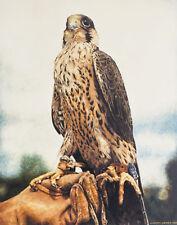 Peregrine Falcon POSTCARD Falconry Bird Painting Steve Greaves Print Art Card