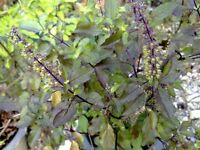 Best Original Red holy basil 2,000 seeds Ocimum sanctum herb Ship From Thailand+