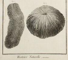 Histoire Naturelle-ORIG grabado 1760-polypiers arrecife rosenkoralle