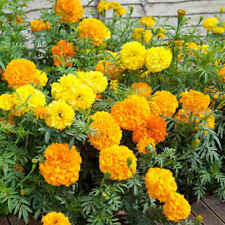 "300+ Marigold, African  ""Crackerjack Mix"" Seeds  24-30 Inches US SELLER NON-GMO"
