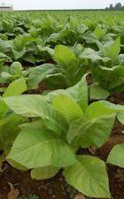 Tobacco Seeds Organicas (over 200 seeds) Puerto Rico