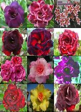 """ADENIUM """"Mixed 12 Types"""" 12 GRAFTED PLANTS RARE!"""