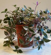 Tradescantia fluminensis - Tricolor High Quality Rooted Stem Cutting (1)