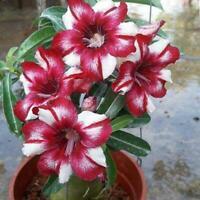 10/20/50 Rare Adenium Obesum Desert Rose Seeds Perennial Flower Bonsai Plant Mat