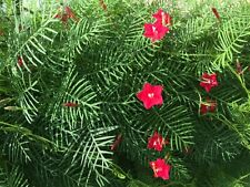 100+ seeds * Red Flowering Hummingbird Cypress Vine *
