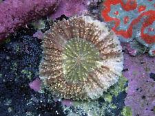 New listing Indo Lobo -Wysiwyg Live Coral Frag- Coral Savers