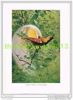 GREAT BIRD OF PARADISE, BOOK ILLUSTRATION (PRINT), LYDEKKER, c1916
