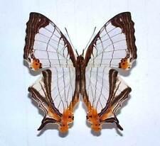 CYRESTIS NIVEA NIVALIS - unmounted butterfly