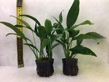 Anubias congensis x 2 pot grown plants - Aquarium Aquatic Live Plants  (PT016)