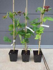 Rubus fruticosus 'Thornless Loganberry' - Dornenlose Himm-Brombeere -  40-60cm