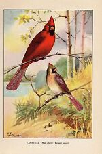 """1926 Vintage TODHUNTER BIRDS /""""RED-SHOULDERED HAWK/"""" WOW 90 YEARS OLD Lithograph"""