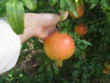 COLD HARDY Punica Granatum cult. Russian Salavatski * Special offer -100 seeds !