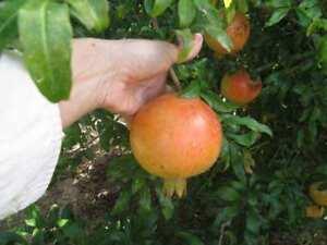 COLD HARDY Punica Granatum cult. Russian Salavatski * Special offer -5 seeds !
