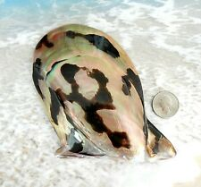 Large Brown Lip Oyster Shell 5 in. Brownlip Mother of Pearl Polished Seashell