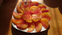 Tomate Rainbow Samen