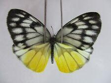 PI2011. Unmounted butterflies: Delias vietnamensis. Central Vietnam.