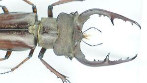 B37457 – Lucanus fujitai species? Beetles YEN BAI vietnam