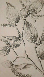 PIMENTEIRA Poivrier GRAVURE Botanique XVIII°