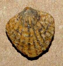 Spinatrypa asperoides ............ Devonian Brachiopoda