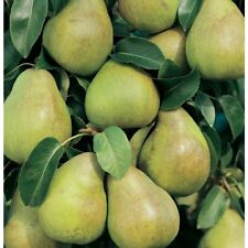 Mini Comice Pear Tree- Has fruit sooner than a large tree in a smaller space.