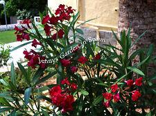 2 Oleander-Kopfstecklinge vom 'Dr. Golfin' - ein traumhaftes Farbspiel