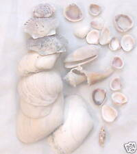 Sea Shell Beautiful Natural - Lot