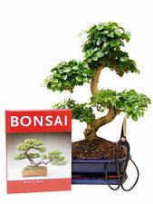 Bonsai Geschenkset, Anfänger-Set Liguster (ligustrum), ca. 9 J., ca. 35 cm